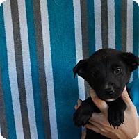 Adopt A Pet :: Belle - Oviedo, FL