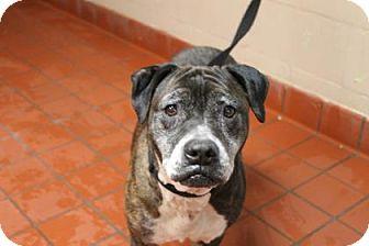 Boxer Mix Dog for adoption in Daytona Beach, Florida - Ginger