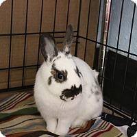 English Spot Mix for adoption in Whitehall, Pennsylvania - Annie