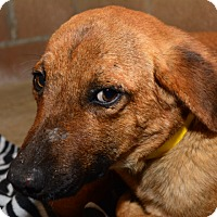 Black Mouth Cur Mix Dog for adoption in Tulsa, Oklahoma - Sally