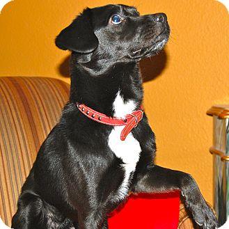 Terrier (Unknown Type, Small) Mix Dog for adoption in Minnetonka, Minnesota - BOSCOE