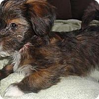 Adopt A Pet :: Callie - Seattle, WA