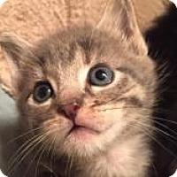 Adopt A Pet :: Colonel - Reston, VA