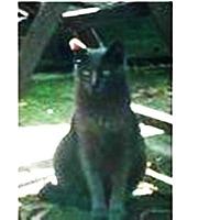 Domestic Shorthair Cat for adoption in Naples, Florida - Zeke