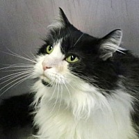 Domestic Shorthair Cat for adoption in Roseville, California - Jessie