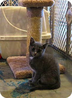 Domestic Shorthair Cat for adoption in Geneseo, Illinois - Oopsy Daisy