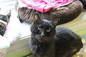 Domestic Shorthair Cat for adoption in Indianapolis, Indiana - Martin