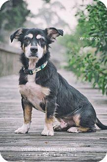 Pembroke Welsh Corgi Mix Dog for adoption in Webster, Texas - Winston