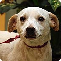 Adopt A Pet :: Beautiful Bruno - Brooklyn, NY