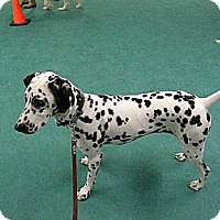 Adopt A Pet :: Bella - Middletown, PA