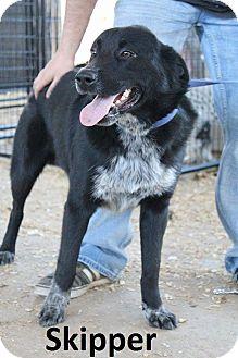 Husky/Blue Heeler Mix Dog for adoption in Leslie, Arkansas - Skipper