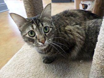 Domestic Mediumhair Cat for adoption in Lake Charles, Louisiana - Olivia