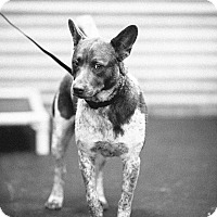 Adopt A Pet :: Pinta - Portland, OR