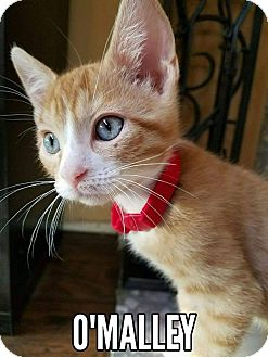 Domestic Shorthair Kitten for adoption in Rowlett, Texas - O'Malley