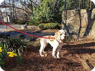 Cocker Spaniel Mix Dog for adoption in Alpharetta, Georgia - Sary