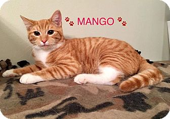 Domestic Shorthair Kitten for adoption in Hamilton, New Jersey - MANGO aka CHARLIE