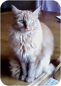 Domestic Longhair Cat for adoption in St. Louis, Missouri - Bella