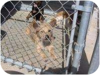 Cairn Terrier/Terrier (Unknown Type, Small) Mix Dog for adoption in Acton, California - Cooper