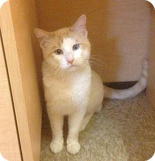 Siamese Cat for adoption in Modesto, California - Big Tom