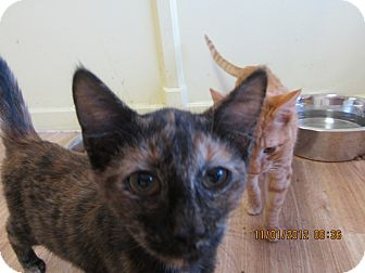Domestic Shorthair Kitten for adoption in Bunnell, Florida - Pepper Potts