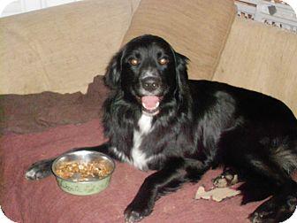 Flat-Coated Retriever/Labrador Retriever Mix Dog for adoption in Raleigh, North Carolina - Bentley &Beckett