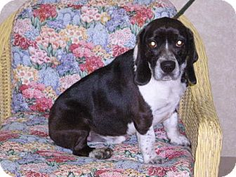 """Beagle Mix Dog for adoption in New Castle, Pennsylvania - """" Rudy """""""