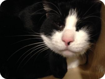 Domestic Shorthair Cat for adoption in Muncie, Indiana - Michael