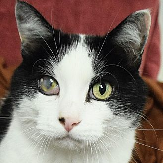 Domestic Shorthair Cat for adoption in Huntley, Illinois - Tom Tom