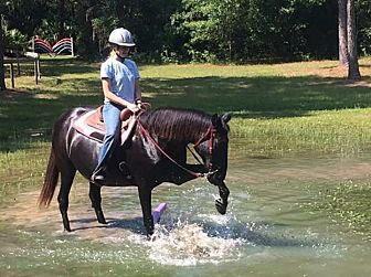 Tennessee Walking Horse Mix for adoption in Morriston, Florida - Fancy