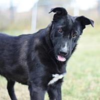 Border Collie/Labrador Retriever Mix Dog for adoption in Dodson, Montana - Dharma