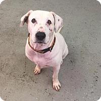 Adopt A Pet :: Wilma - Phoenix, AZ
