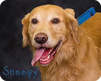 Golden Retriever Mix Dog for adoption in Somerset, Pennsylvania - Snoopy