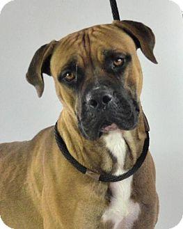 Boxer/Bullmastiff Mix Dog for adoption in Goodyear, Arizona - Frank