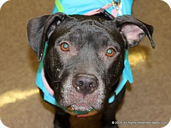 Pit Bull Terrier Dog for adoption in Fort Wayne, Indiana - Neena