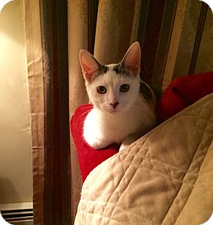 Domestic Shorthair Kitten for adoption in Old Bridge, New Jersey - Lyric