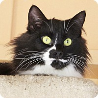 Domestic Mediumhair Cat for adoption in Port Jervis, New York - Stella