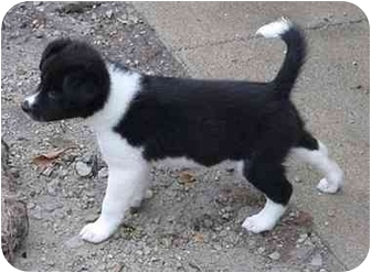 Border Collie Puppy for adoption in Tiffin, Ohio - CobbF2