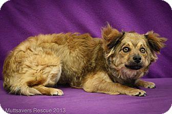 Sheltie, Shetland Sheepdog/Dachshund Mix Puppy for adoption in Broomfield, Colorado - Skyy