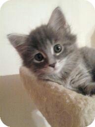 Domestic Mediumhair Kitten for adoption in Horsham, Pennsylvania - Emma