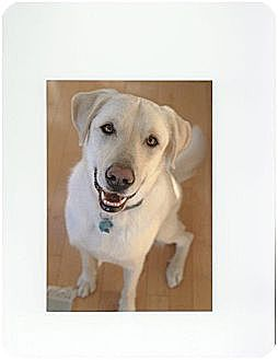Labrador Retriever/Great Pyrenees Mix Dog for adoption in Newington, Connecticut - Jed
