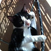 Domestic Shorthair Cat for adoption in Miami, Florida - Oreo