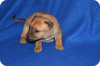 German Shepherd Dog Mix Puppy for adoption in Littleton, Colorado - KENTUCKY PUP - TEJAY