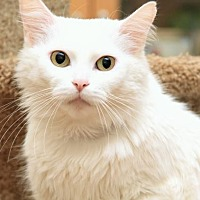 Adopt A Pet :: Dutchess - FIV+ - Sterling Heights, MI