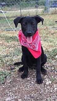 Australian Cattle Dog Mix Dog for adoption in Comanche, Texas - Ziggi
