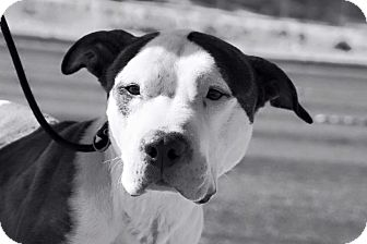 Pit Bull Terrier Mix Dog for adoption in Las Vegas, Nevada - Keats