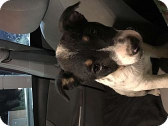 Lancashire Heeler Mix Puppy for adoption in Murfreesboro, Tennessee - Nami