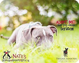 Weimaraner Mix Dog for adoption in Bradenton, Florida - Scratch