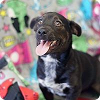 Adopt A Pet :: Judah **URGENT** - Columbia, TN