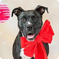 Adopt A Pet :: Charm - Columbia, IL