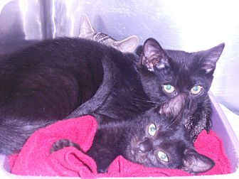 Domestic Shorthair Kitten for adoption in Maywood, New Jersey - Nina